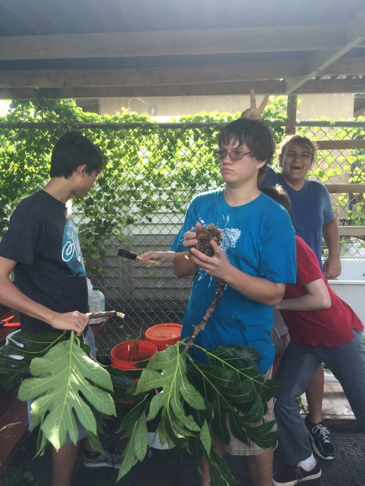 We are learning plant propagation method called air layering, using the breadfruit tree.